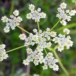 Herb Caraway Seeds