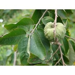 Graines Le Chérimolier (Annona cherimola)
