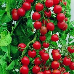 Semi di pomodoro Giardinieri Delight