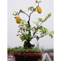 Star Fruit Tree Seed Averrhoa carambola Tropical Seeds
