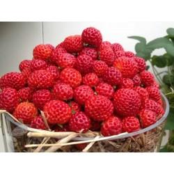 """Framberry"" Jagoda / Malina Seme - ukus Maline"