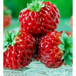 """Σπόροι εξωτικών Φράουλα """"Framberry"""""""
