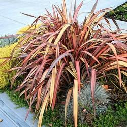 Sementes de Espadana, Linho-da-Nova-Zelândia