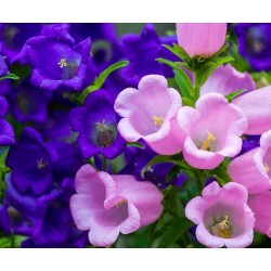 Sementes de Flor-de-sino