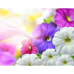 Σπόροι λουλουδιών Νάνος Δόξα Πρωί