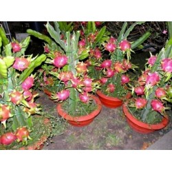 Semillas de Pitahaya, Dragon Fruit, Pitaya