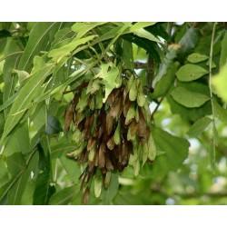 Gemeine Esche Samen 1.5 - 1