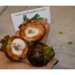 Sementes de Mangostão (Garcinia indica)