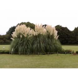 Grass Pampas White Seme 1.5 - 2