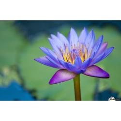 Sacred Lotus Seeds mixed colors (Nelumbo nucifera) 2.55 - 4