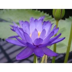 Lotus Lotosblumen Samen gemischte Farben (Nelumbo nucifera) 2.55 - 5