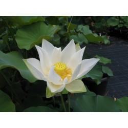 Sementes de Lotus cores misturadas (Nelumbo nucifera) 2.55 - 7