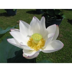 Sementes de Lotus cores misturadas (Nelumbo nucifera) 2.55 - 8