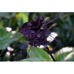 Fledermausblume Samen (Tacca chantrieri) 2.85 - 5