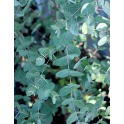 Seeds Eucalyptus Gunnii Cider Gum Tree 2.5 - 4