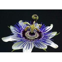 Sementes De Maracujá Doce - Passiflora Ligularis