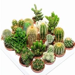 Sementes de Cactus Mix - Cactos Ornamentais 2.25 - 2