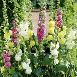 Hollyhock Alcea rosea Majorette Mix 1 - 1