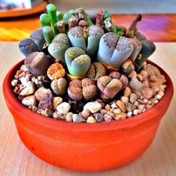 Lithops Seeds 1.5 - 4