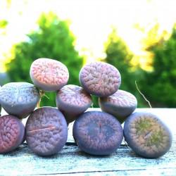 Lithops Seeds 1.5 - 2
