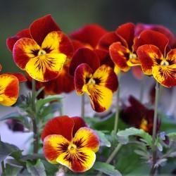 Dan i Noc Seme (Viola tricolor) 1.85 - 1