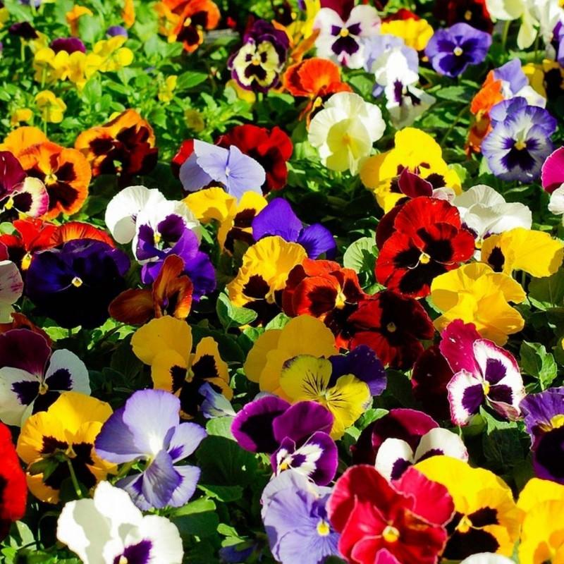Pansy Seeds (Viola tricolor) 1.85 - 3