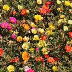 Semi di Portulaca Grandiflora 2.5 - 4