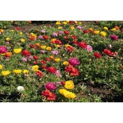 Graines de Pourpier à grandes fleurs 2.5 - 5