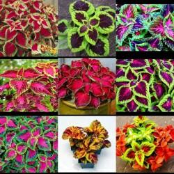 Sementes de Coléus cores misturadas 1.55 - 5
