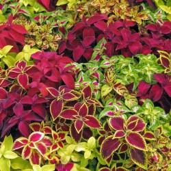 Semi Di Coleus colori misti 1.55 - 1