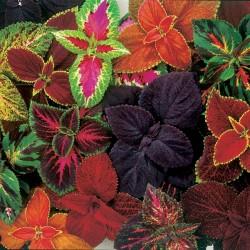 Semi Di Coleus colori misti 1.55 - 4