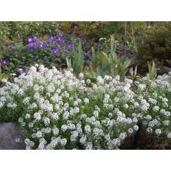Sweet Alyssum or Sweet Alison Seeds 2 - 3