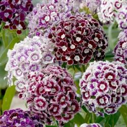 Semi di Sweet Williamfiori commestibili 1.85 - 4