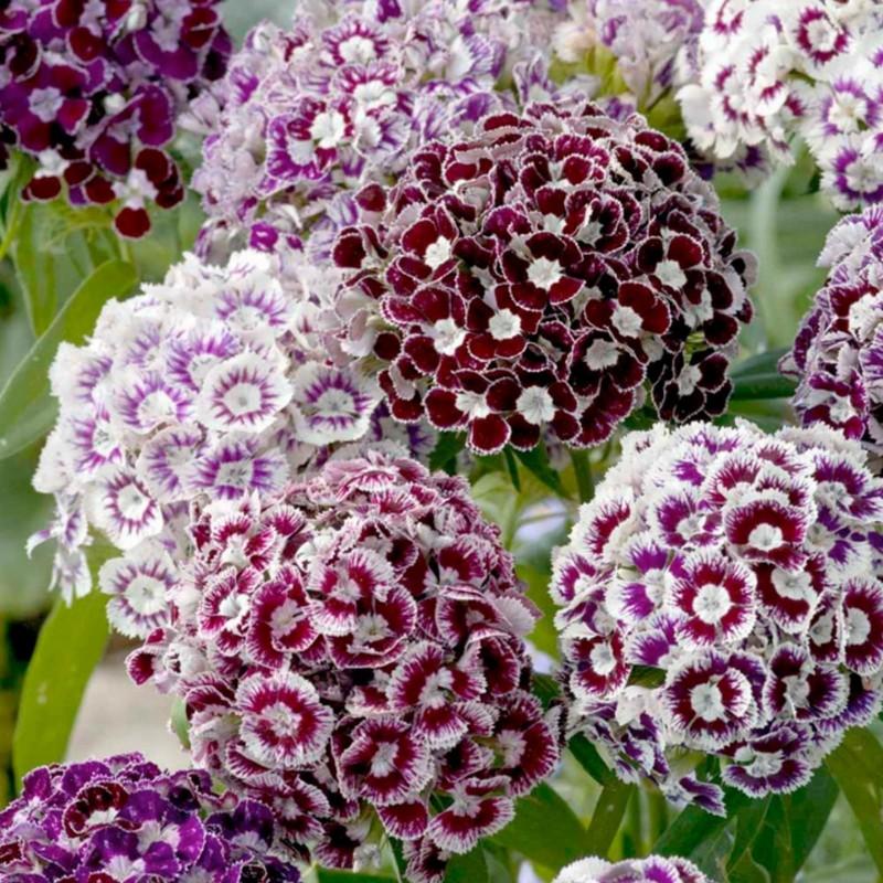 Sementes de CRAVINA flores comestíveis 1.85 - 4