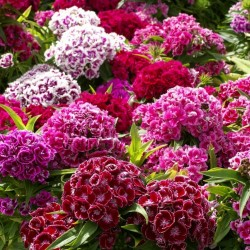 Sementes de CRAVINA flores comestíveis 1.85 - 1