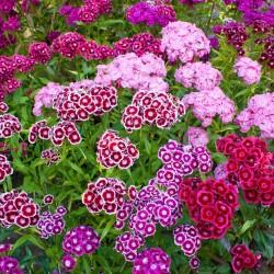 Sementes de CRAVINA flores comestíveis 1.85 - 2