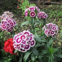 Sementes de CRAVINA flores comestíveis 1.85 - 3