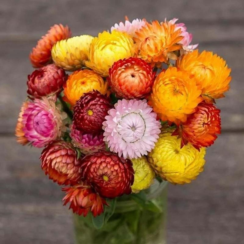 Strawflower Seeds, Golden everlasting 1.95 - 3