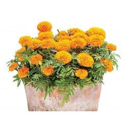 Studentenblumen Tagetes Samen 1.55 - 1
