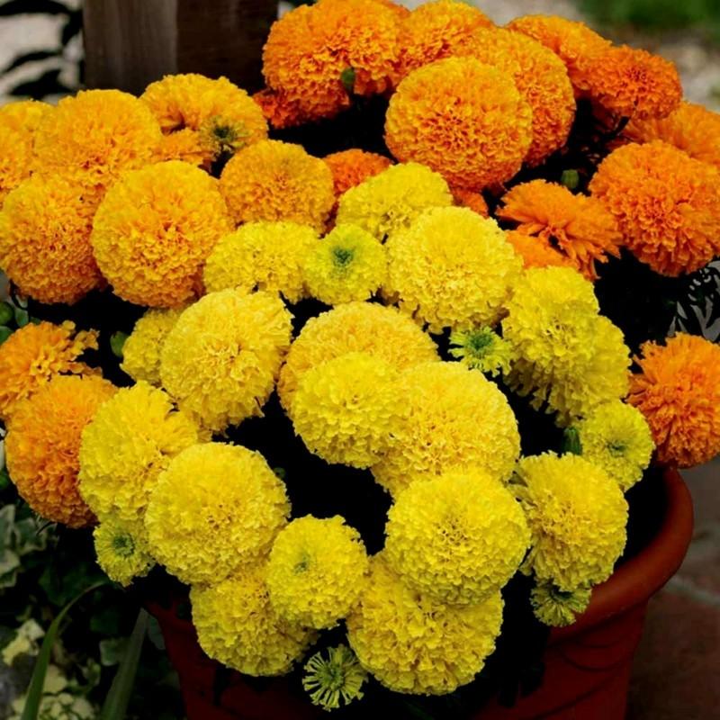 Studentenblumen Tagetes Samen 1.55 - 6