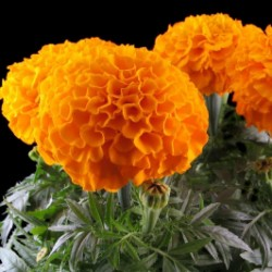 Tagetes Big Marigold Seeds 1.55 - 4