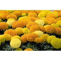 Studentenblumen Tagetes Samen 1.55 - 5