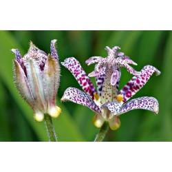 Japanische Krötenlilie Samen 1.2 - 6