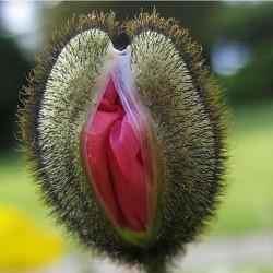 Vulva Cvet Seme 5 - 4