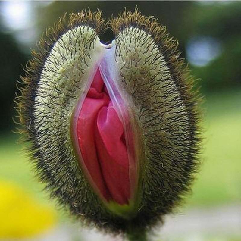 Sementes De Flores Vulva 5 - 4