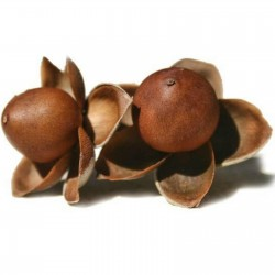Hawaiian Baby Woodrose Seeds (Argyreia nervosa) 1.95 - 1