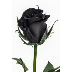 Sementes de Rosa Negra Raro 2.5 - 2