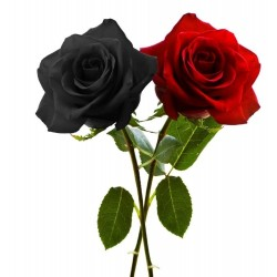 Black Rose Seeds Rare 2.5 - 4