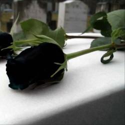 Sementes de Rosa Negra Raro 2.5 - 1