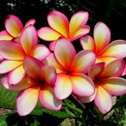 """Plumeria Seme """"Orange Karasin"""" 2.5 - 2"""
